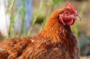 chicken-2901901_640