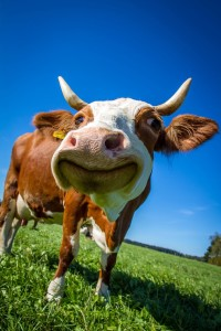 cow-2896329_1280