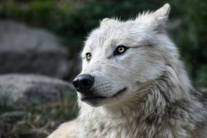 wolf-2826741_640